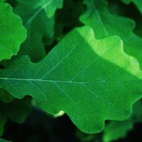 Крепкий дубовый лист ! :: Damir Si