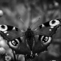 бабочка :: Maria Vakorina