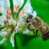 Пчелка :: Дмитрий Рутковский