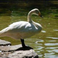 Лебедь -  символ чистоты и благородства. :: Anna Gornostayeva