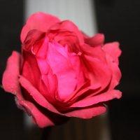 Роза :: Людмила