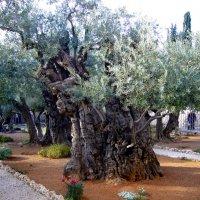 Древние оливы в Гефсиманском саду :: Наталья Маркелова