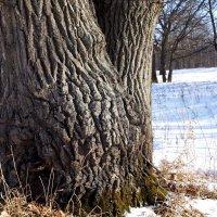 Сколько лет живет дуб ? :: Андрей Зайцев