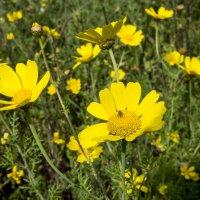 Дикие желтые хризантемы :: Александр Деревяшкин