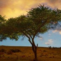 Одинокое деревце на краю пустыни Негев :: Любовь Белянкина