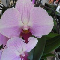 цветок орхидеи :: Людмила