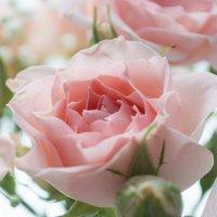 Розы :: Елена Т.