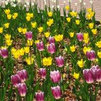 Тюльпаны улыбаются весне :: Елена Семигина