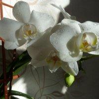 Белая орхидея. :: Валюша Черкасова