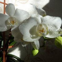 Орхидея в капельках. :: Валюша Черкасова