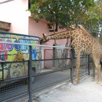 жираф :: алексей кривошея