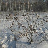 Зимние колючки... :: Владимир Сквирский