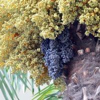 Осенний подарок пальмы :: Ольга Голубева