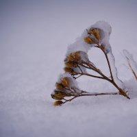 Подглядывает из под снега... :: Аทลﮎłล ﮎÌА