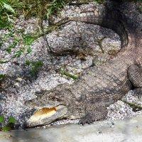 Кубинский крокодил. :: Александр Яковлев