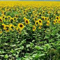 Уж скорей бы лето прекрасное... :: Ольга Кривых