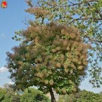 Растёт такое дерево в Воронеже. Скумпия кожевенная :: Алексей Шаповалов Стерх