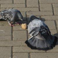 Из жизни голубей! :: Ирина Олехнович