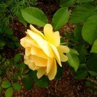 Жёлтая роза :: Mary Коллар