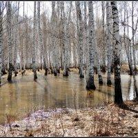Залита роща талою водой :: Геннадий Ячменев