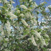Май цветение :: Иван Торопов