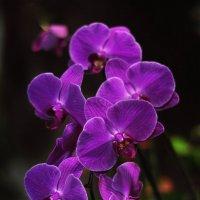 орхидея :: Августа