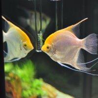 в аквариуме :: Августа