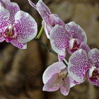 Орхидея доритинопсис Счастливый Король Тейды :: Ирина Приходько