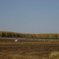 картофельное поле :: ирина амблямова