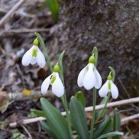Символ весны :: Zinaida Belaniuk
