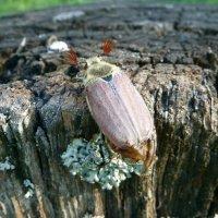 Майский жук. :: Чария Зоя