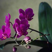 Орхидея доритинопсис Королева Красного Неба :: Ирина Приходько