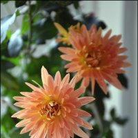 Хризантема - солнечный цветок Японии :: Anna Gornostayeva