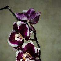 Орхидея фаленопсис Наоми :: Ирина Приходько