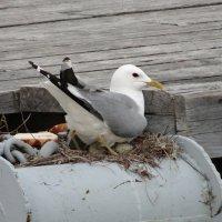 Чайка на гнезде :: Паровозик из Ромашково Ж