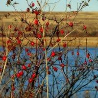 Шиповника рубиновые бусы. :: nadyasilyuk Вознюк