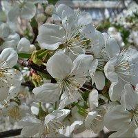 Белая кипень вишни :: Нина Корешкова