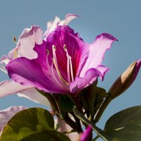 Цветок Орхидейного дерева! Баухиния пурпурная :: Александр Деревяшкин