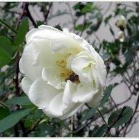 Белый шиповник :: Вера