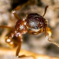 Красный муравей :: Богдан Петренко