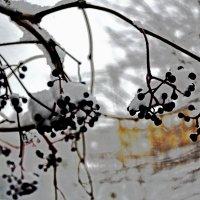 дикий виноград :: petyxov петухов