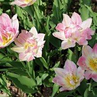 Махровый тюльпан Peach Blossom (-Цветущий персик-) :: Елена Павлова (Смолова)