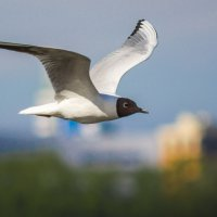 Озёрная чайка :: Хась Сибирский
