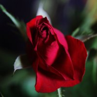 Красная Роза Любви :: Damir Si