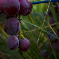 Виноградная гроздь :: Rina Dolphin