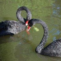 черные лебеди :: Юрий Максимов