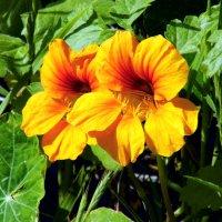 Цветы :: Валерьян