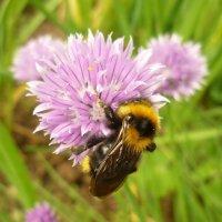 Пчелка :: Наталья Березко
