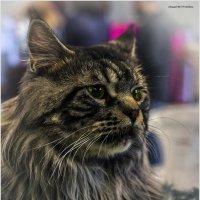 Котёнок2-из серии Кошки очарование мое! :: Shmual Hava Retro