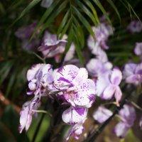 Орхидея :: Астарта Драгнил